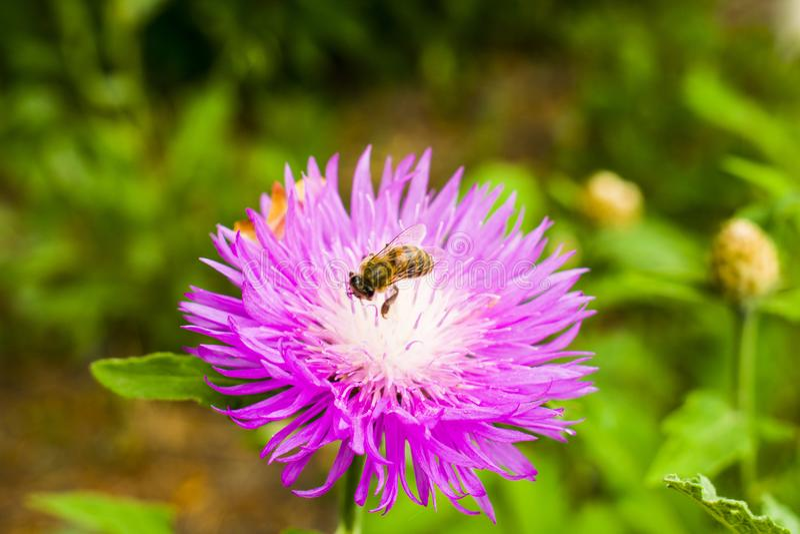 Пчела собирая нектар с красивой весной цветет Пурпур стоковое изображение rf