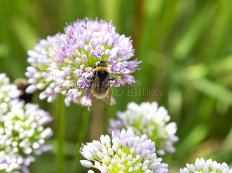 Пчела собирая цветень на цветке лукабатуна стоковое изображение