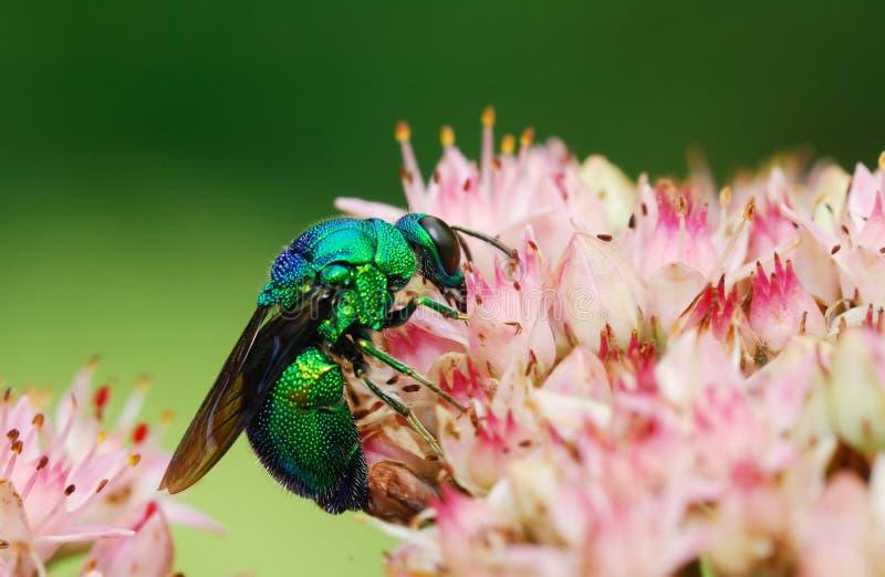 пчела странная стоковое фото