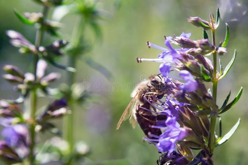 Пчела цветения цветка завода nepeta Catmint butterly стоковая фотография rf
