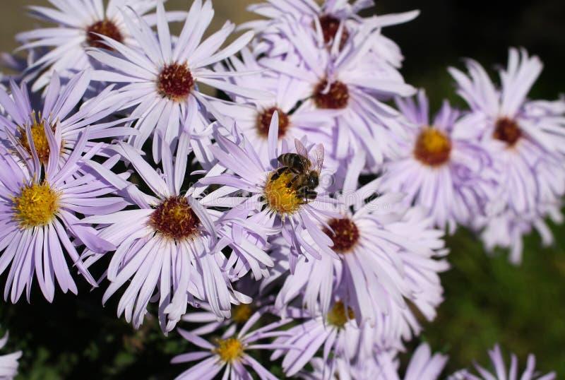 пчела цветет пурпур стоковые изображения rf