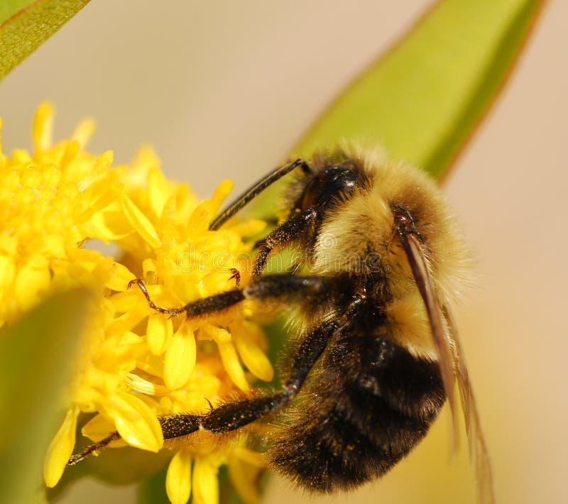 пчела стоковые фото