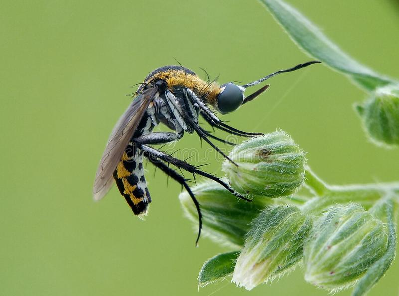 пчела cucko стоковое изображение rf