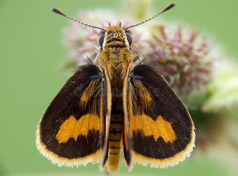 пчела cucko стоковая фотография rf
