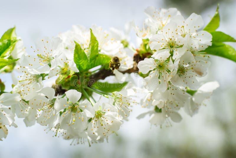 Пчела Fliing вишневого цвета стоковое изображение