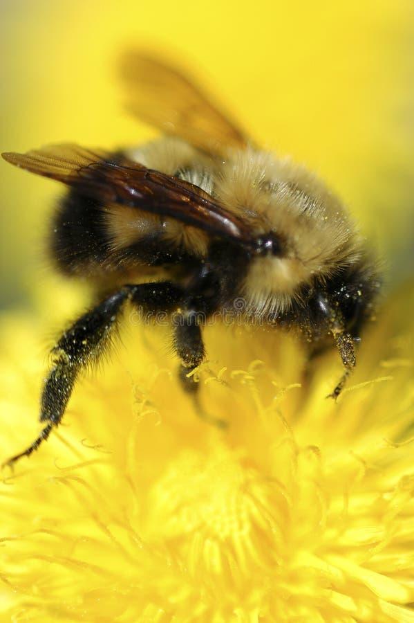 пчела pollenating стоковые изображения rf