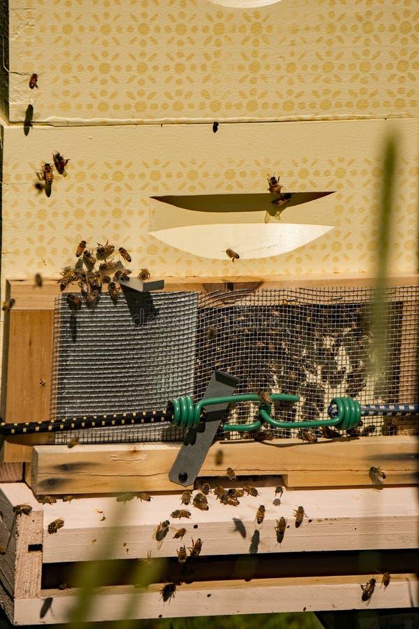 Пчелы входя в и покидая улей стоковая фотография rf