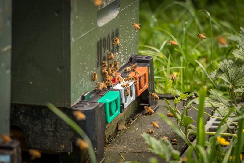 Пчелы входя в крапивницу, Новую Зеландию стоковое фото rf