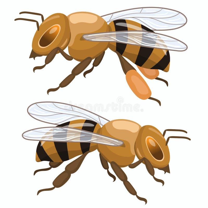 2 пчелы меда изолированной на белой предпосылке o бесплатная иллюстрация