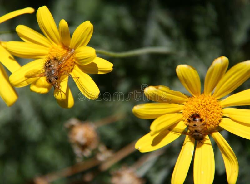 Пчелы на желтых цветках ragwort с зеленой предпосылкой стоковое изображение rf