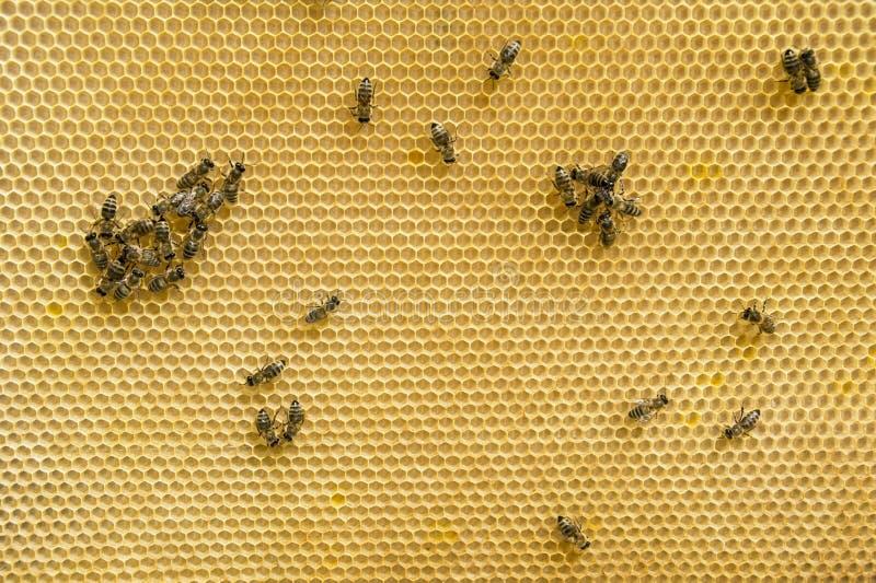 Пчелы на соте стоковое изображение