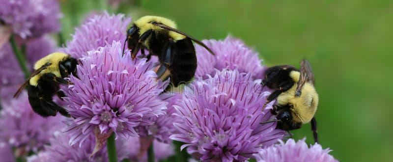 3 пчелы на mauve цветках chive с летанием цветня стоковые изображения rf