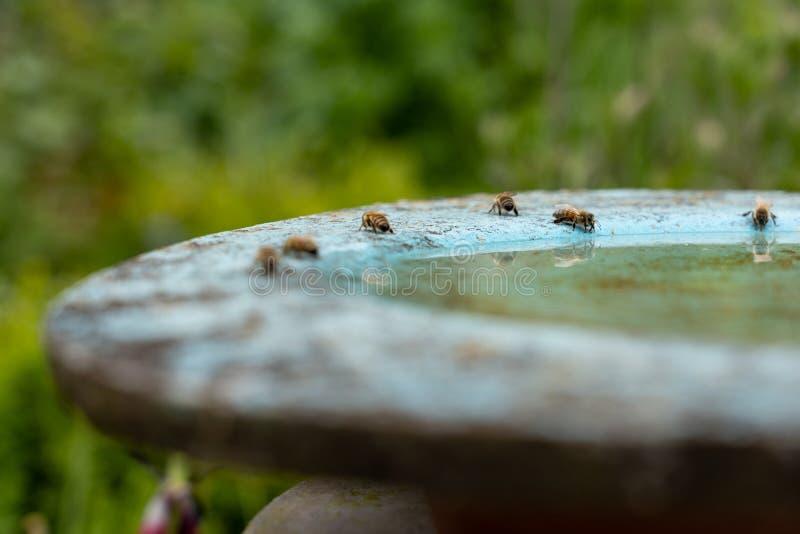 пчелы пьют воду в бердбате в цветочном саду в полдень стоковые изображения
