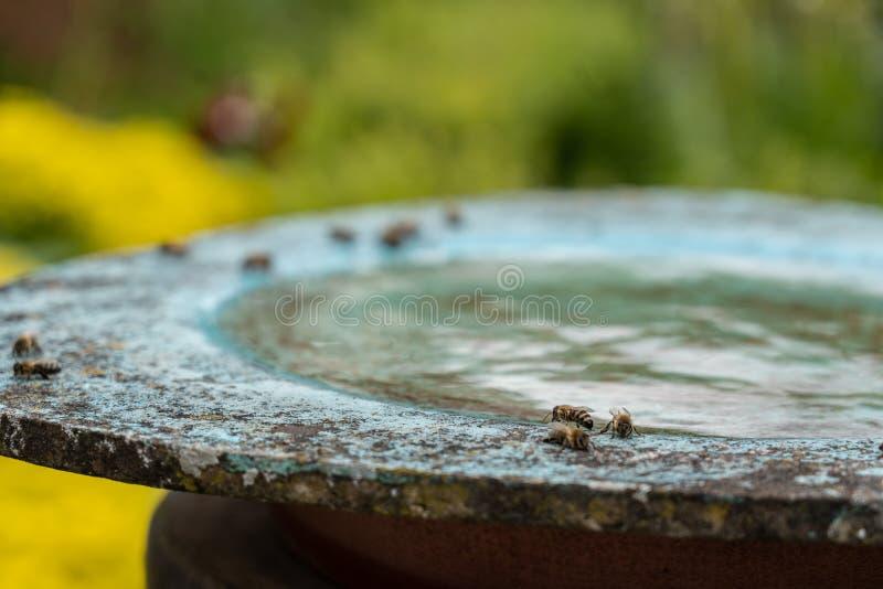 пчелы пьют воду в бердбате в цветочном саду в полдень стоковое изображение rf