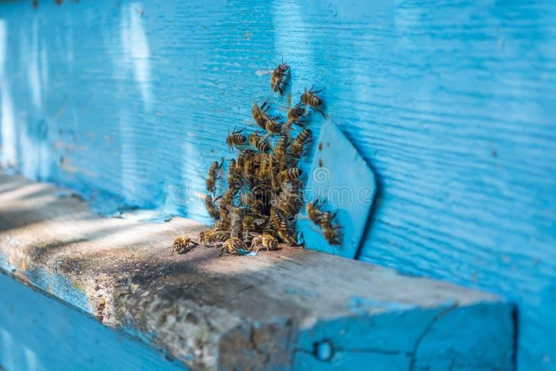 Пчелы роятся на входе к покрашенному улью голубым стоковое фото