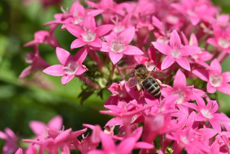 Пчелы собирая и нося цветень и, который хранят лепешки в мешках в задних ногах стоковое изображение rf