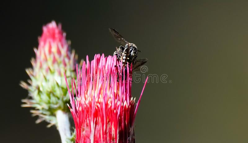 Пчелы сопрягая на горячем розовом цветке стоковое фото rf