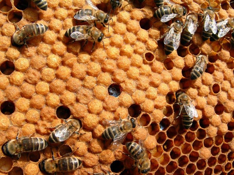 пчелы стоковое изображение