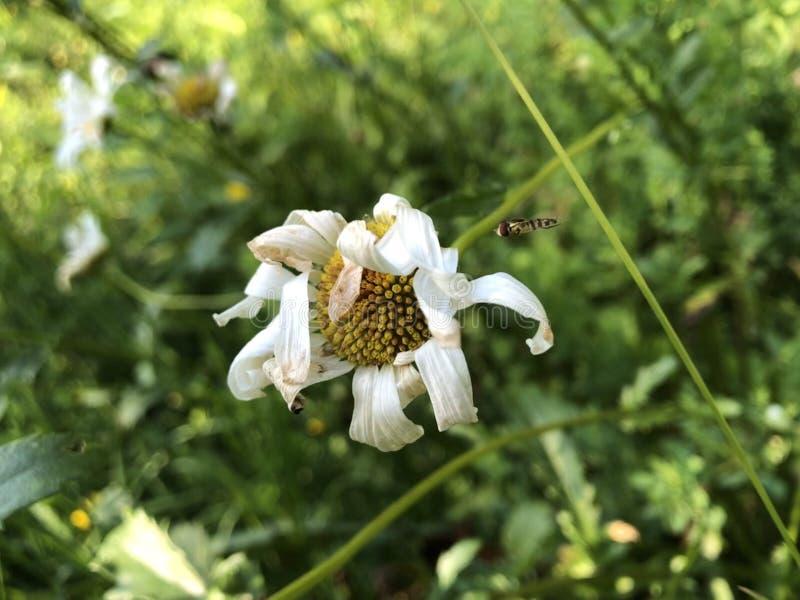 Пчел-причина я тебя люблю, красота стоковое фото rf