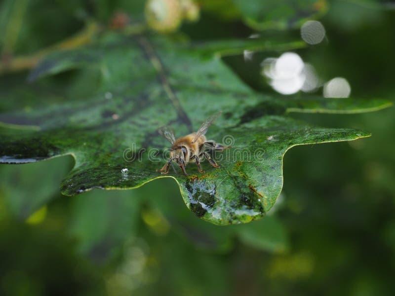 Пчела всасывая липкий сироп глюкозы от лист дуба стоковые изображения