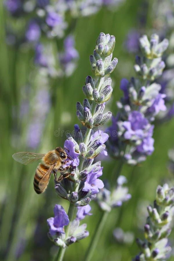 Пчела в саде стоковые фотографии rf