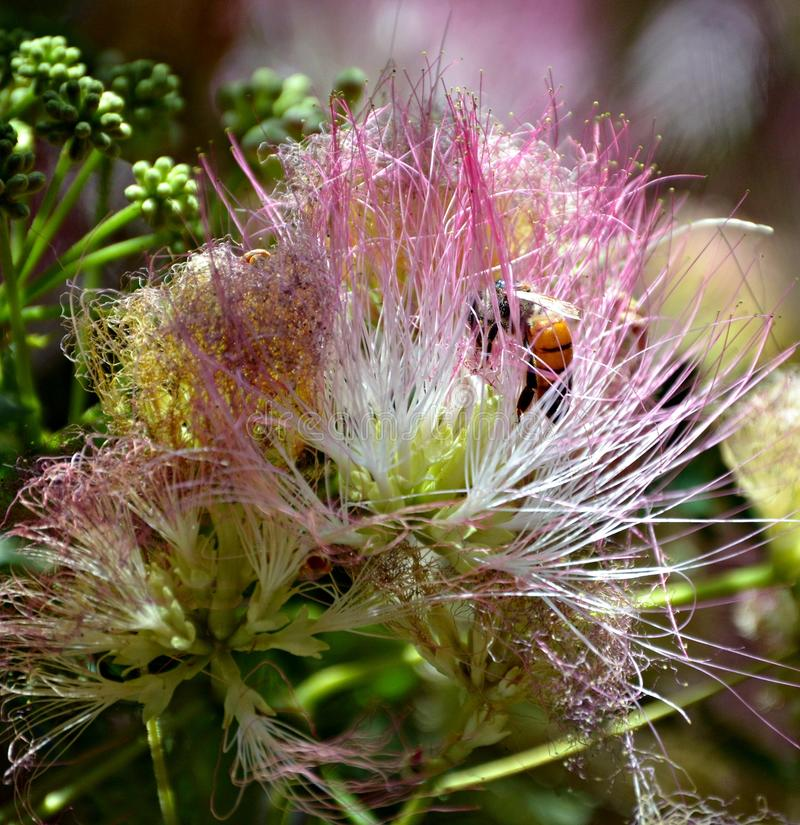 Пчела в цветке дерева мимозы стоковое изображение