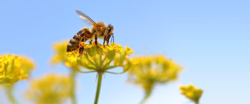 Пчела жать цветень стоковое изображение rf