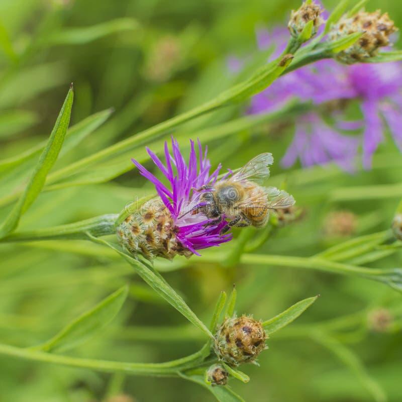 Пчела извлекая цветень стоковое фото