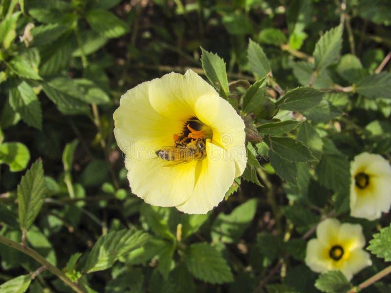 Пчела ища цветень стоковое фото