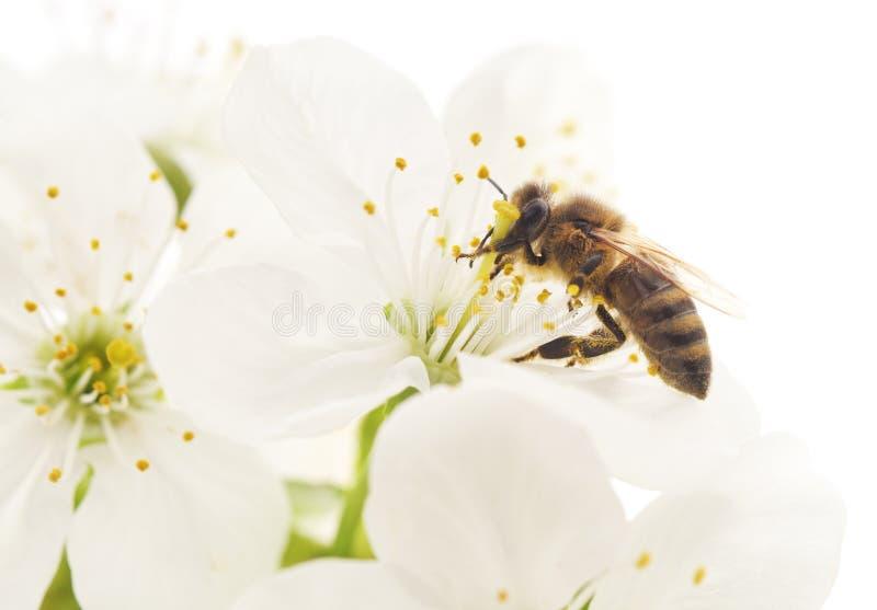 Пчела и белые цветки стоковые изображения