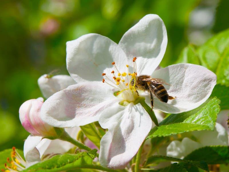 Пчела и вишневый цвет стоковая фотография rf