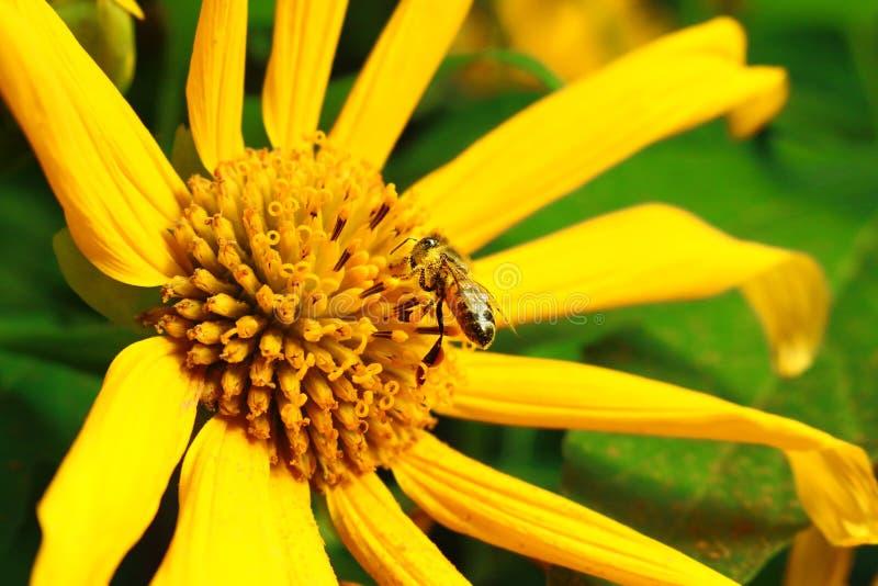 Пчела и желтый цветок стоковые фотографии rf