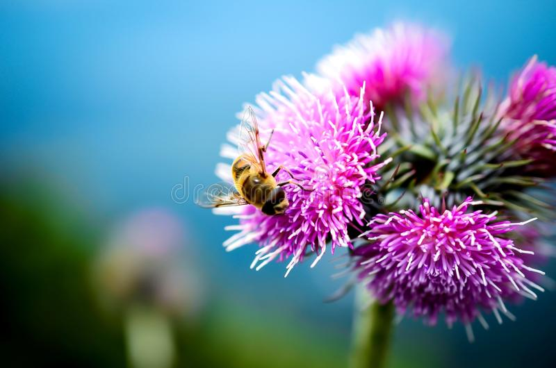 Пчела и цветок на горе стоковое фото