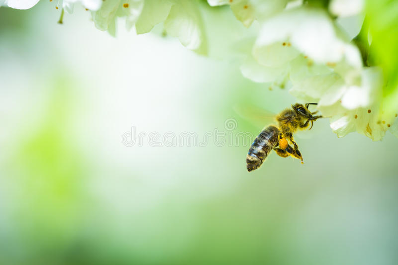 Пчела меда в дереве полета причаливая blossoming стоковое изображение rf