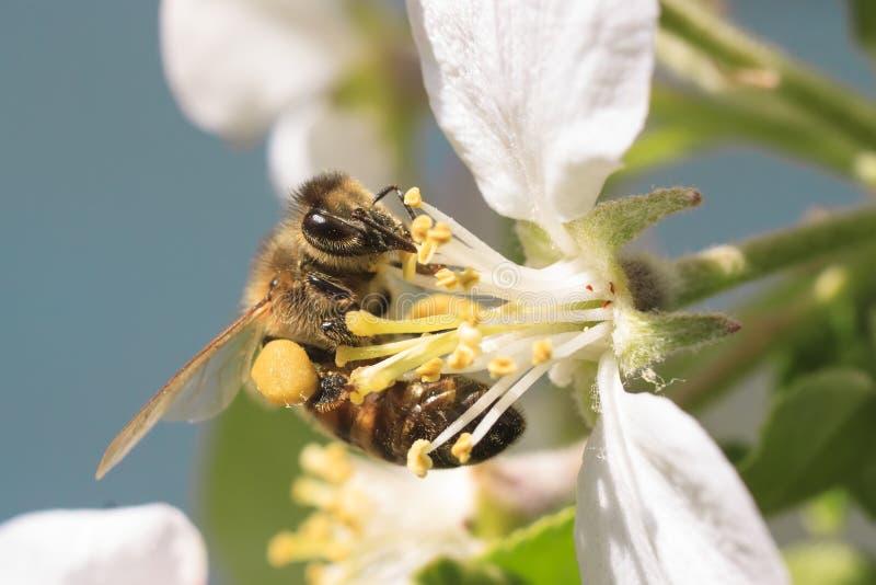 Пчела меда жать цветень стоковое изображение