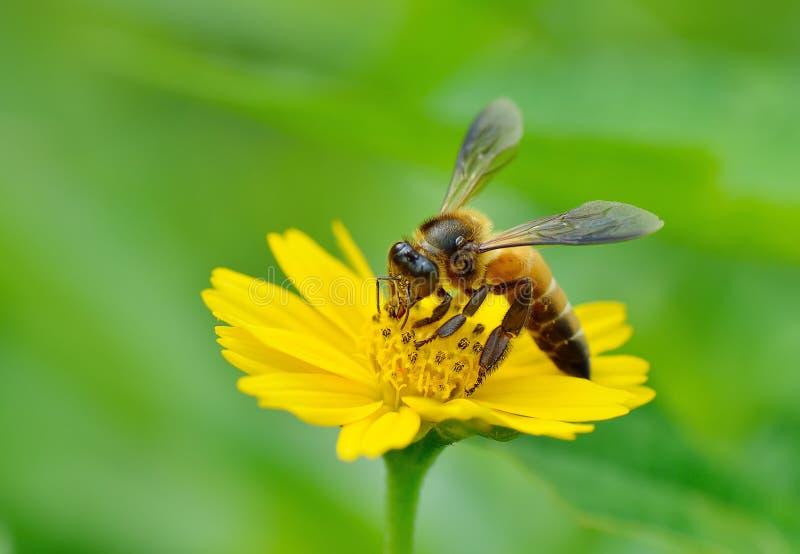 Пчела меда к цветку и собирает нектар стоковая фотография