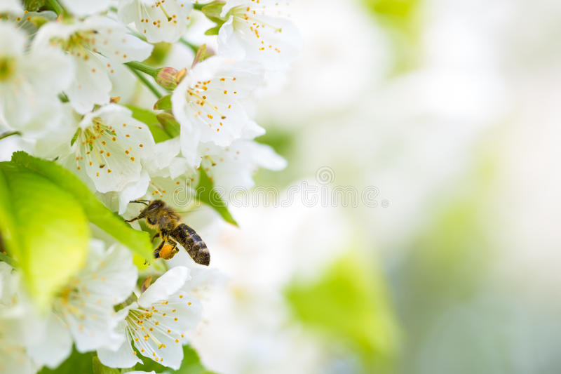 Пчела меда наслаждаясь blossoming вишневым деревом стоковые изображения