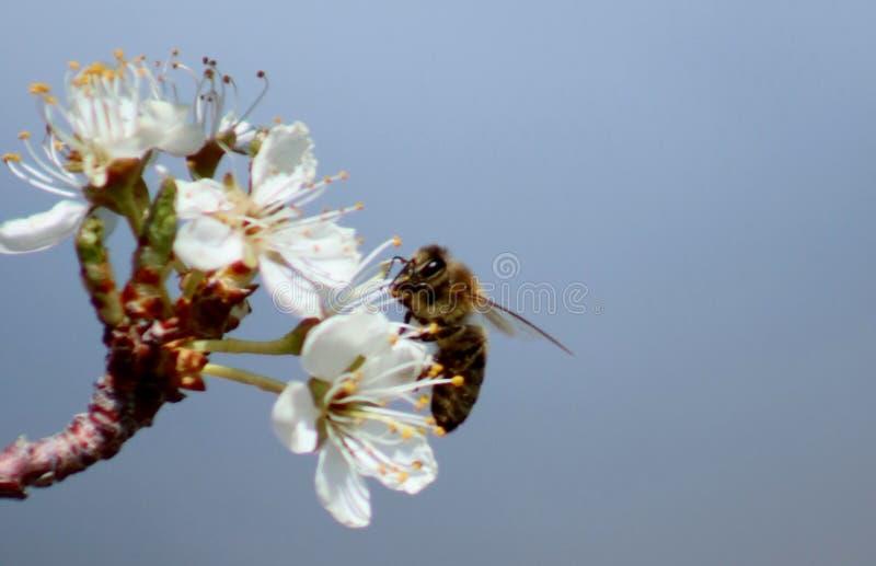 Пчела меда на цветении груши стоковая фотография