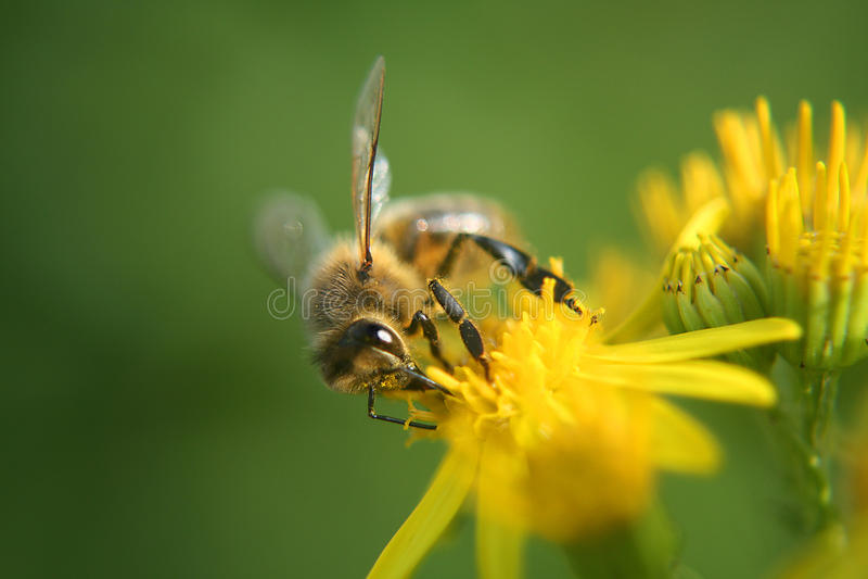 Пчела меда на цветке стоковое изображение rf