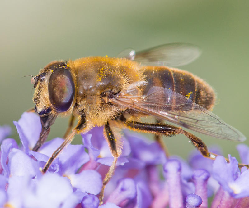 Пчела меда на цветке стоковое фото