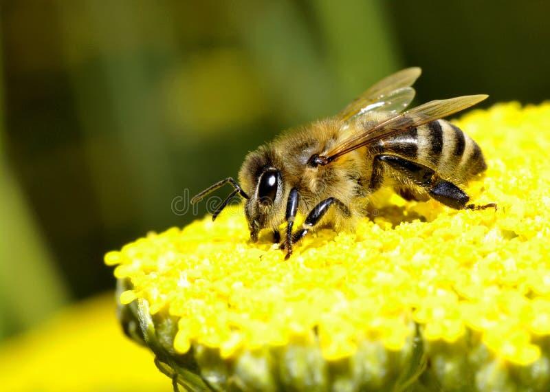 Пчела меда стоковые фото