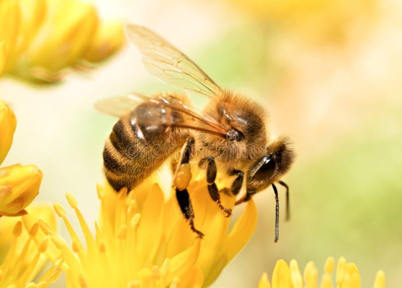 Пчела меда стоковые фотографии rf