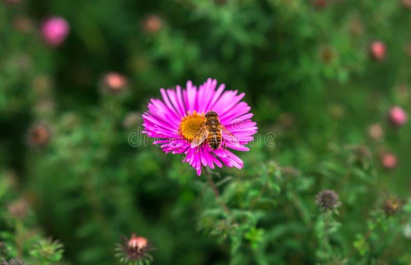 Пчела насекомого опыляет красивый розовый цветок стоковые изображения