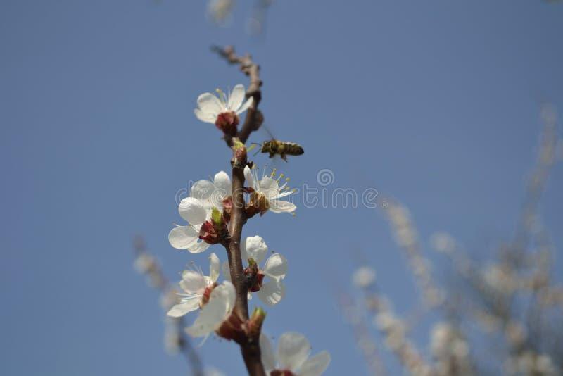 Пчела на абрикосе цветка стоковая фотография rf