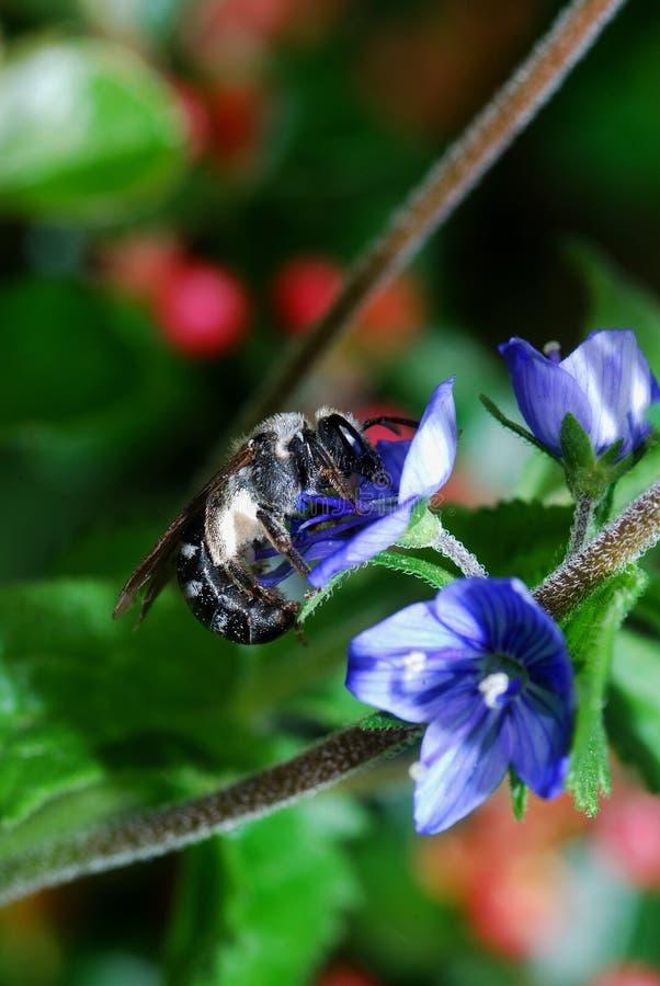 Пчела на голубом цветке стоковая фотография rf