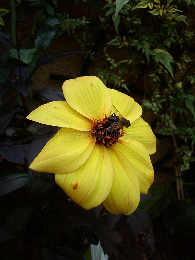 Пчела на желтом цветке георгина стоковое изображение rf