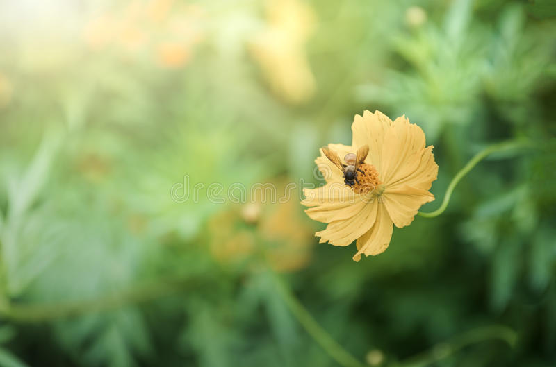 Пчела на желтом цветке космоса с светом солнца стоковая фотография