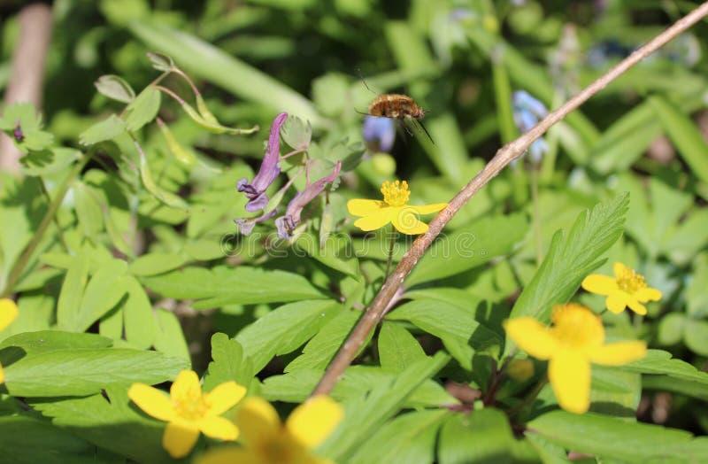 Пчела над желтым цветком rany весна стоковые фотографии rf