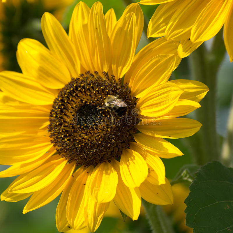 Пчела на заводе солнцецвета стоковое изображение rf