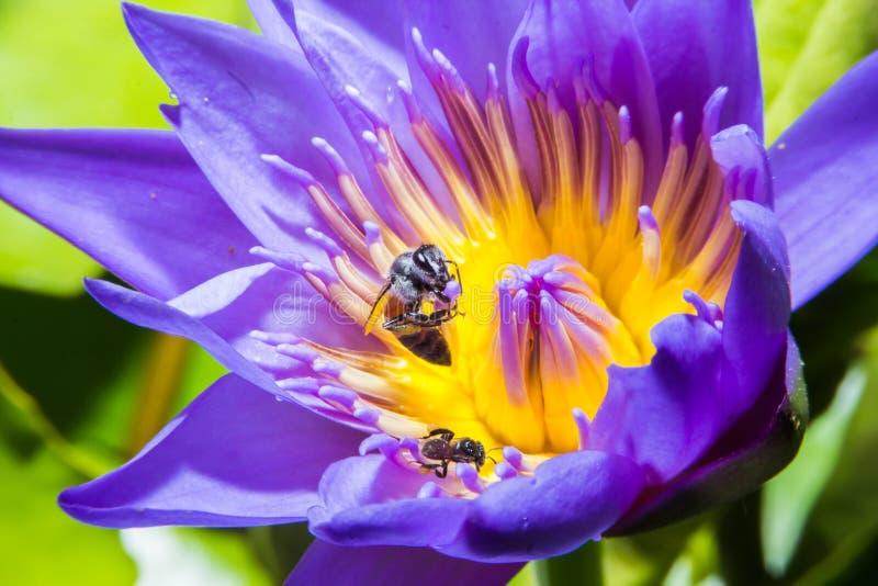 Пчела на лилии воды стоковое изображение